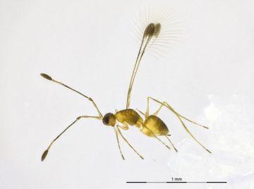 Erzwespe Mymar pulchellum